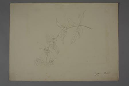 Sketch of a Plant (Bignonia Picta)