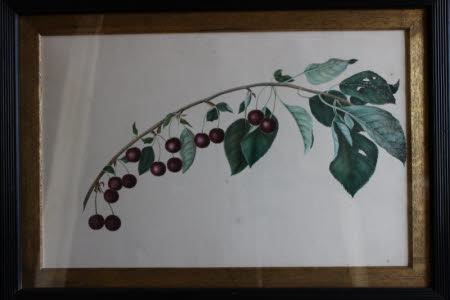 Cherries - Prunus arium - The Vyne, Hampshire: end of August 1808