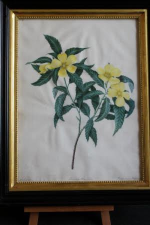 Turnera Ulmifolia Pentandria Trigynia