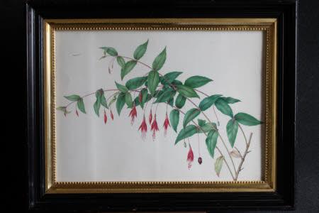 Fuschia (Magellanica)