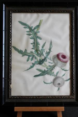 Carduus Eriophorus -Thistle