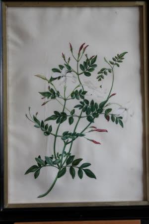 Jasminum Catalanium