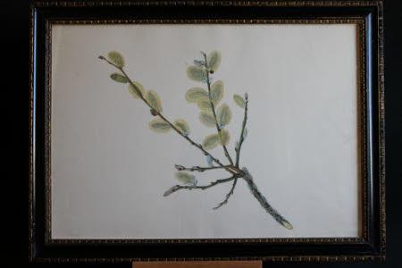 Pussy Willow - Salix caprea