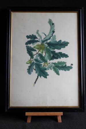 Branch of Oak - Quercus