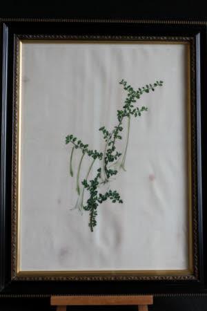 Catesbea Spinosa - spray of long white trumpet flowers